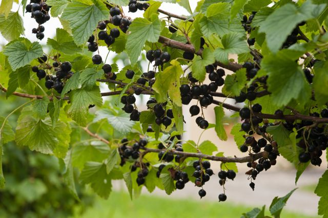 Bug Hill Farm Currants