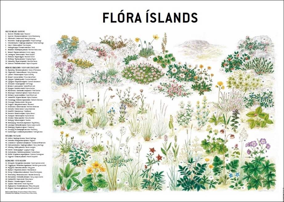 Flora-Flóraíslands-Icelandicflowers-flowers-Icelandic