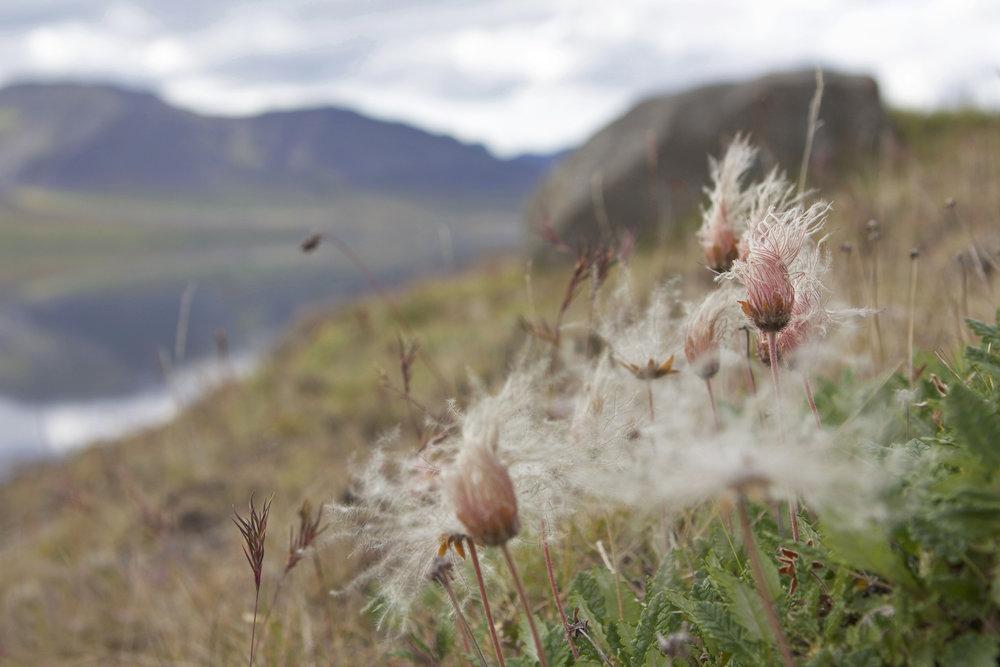 floraislands-iceland-flower-summer-softflower