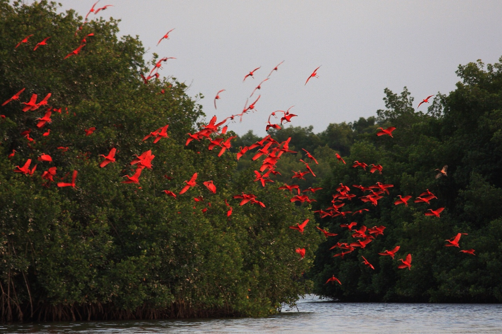 redbirds-birds-red