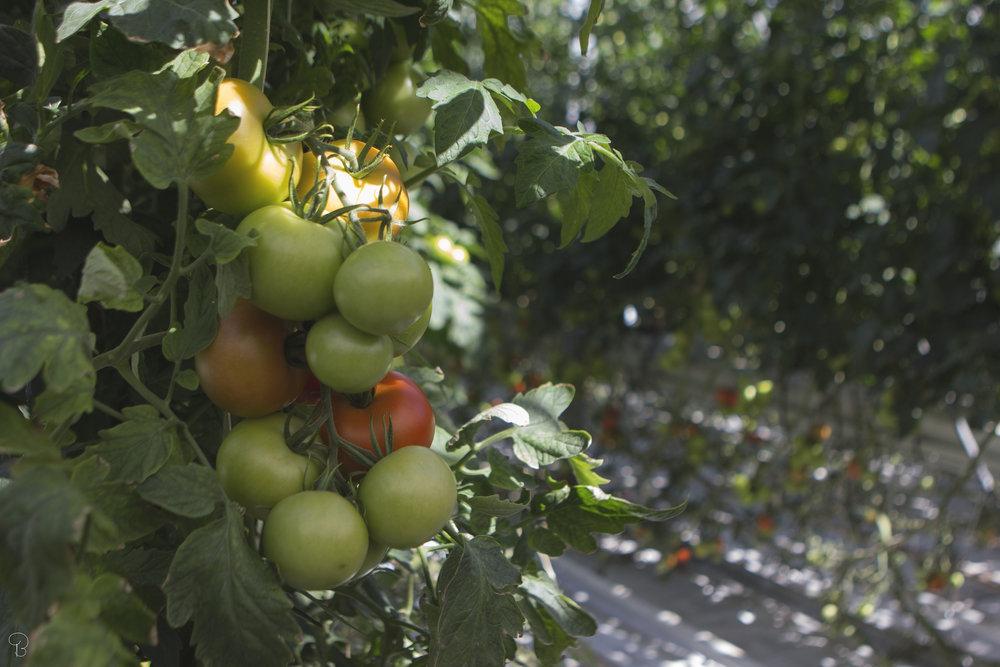 fridheimar-friðheimar-tomatos-local-green