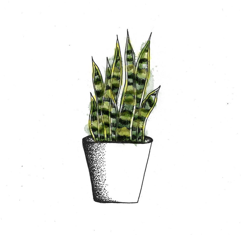 indjanafjödur-plant