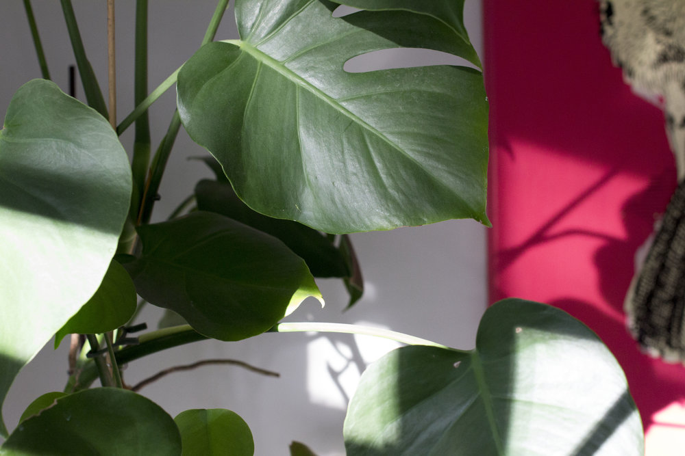 monstera-autumn-shadow-color-reykjavik-plant