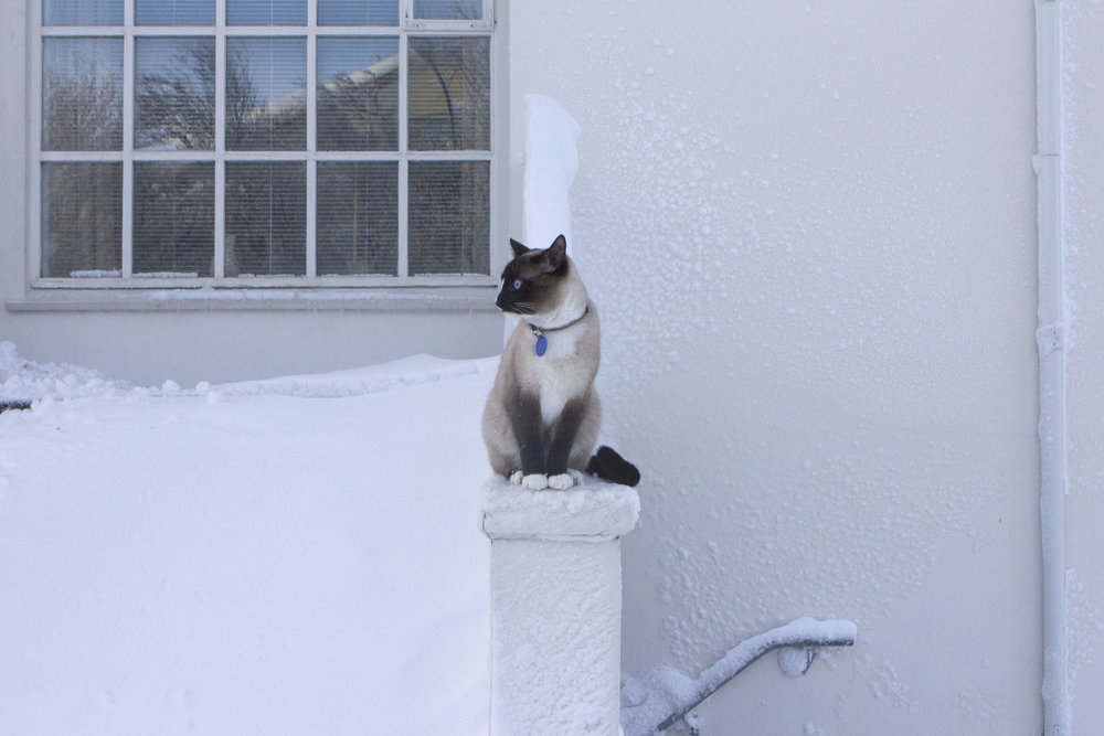 Mikki-cat-seamesecat-snow-iceland