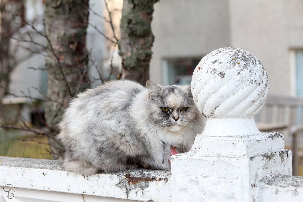 cat-reykjavik-catsofreykjavik-iceland-whitecat