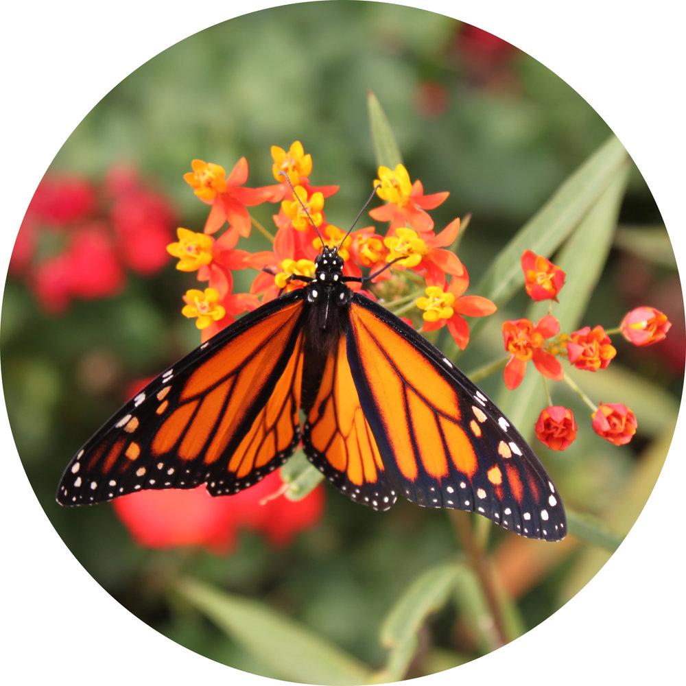 mariposa monarca_parcellla