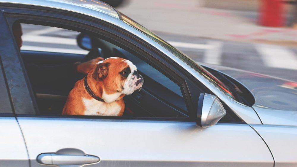 dog-car2.jpg