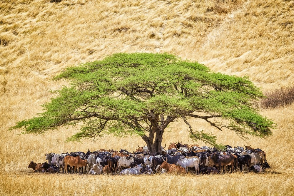 Herd-of-cattle-under-acacia-tree-in-a-tanzania-462575663_5760x3840.jpg