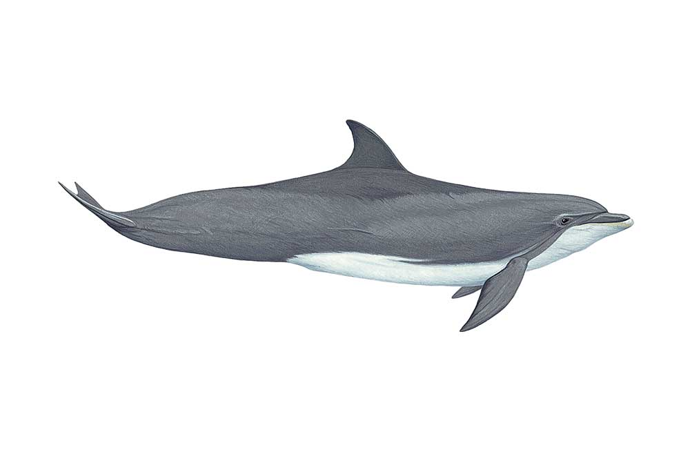 BottlenoseDolphin-Illustration.jpg
