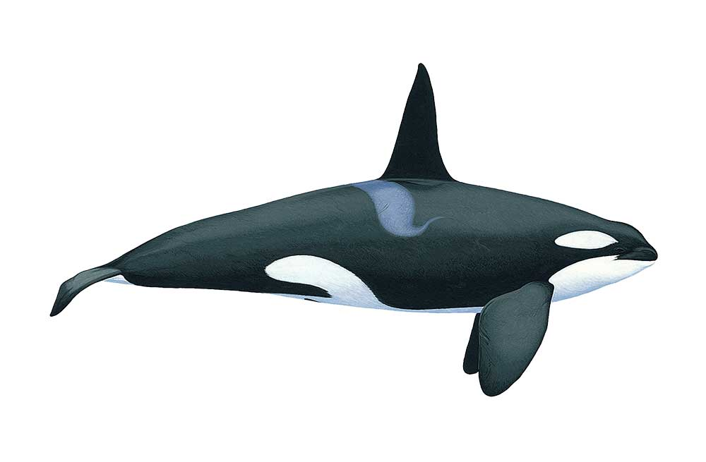 KillerWhale-Illustration.jpg