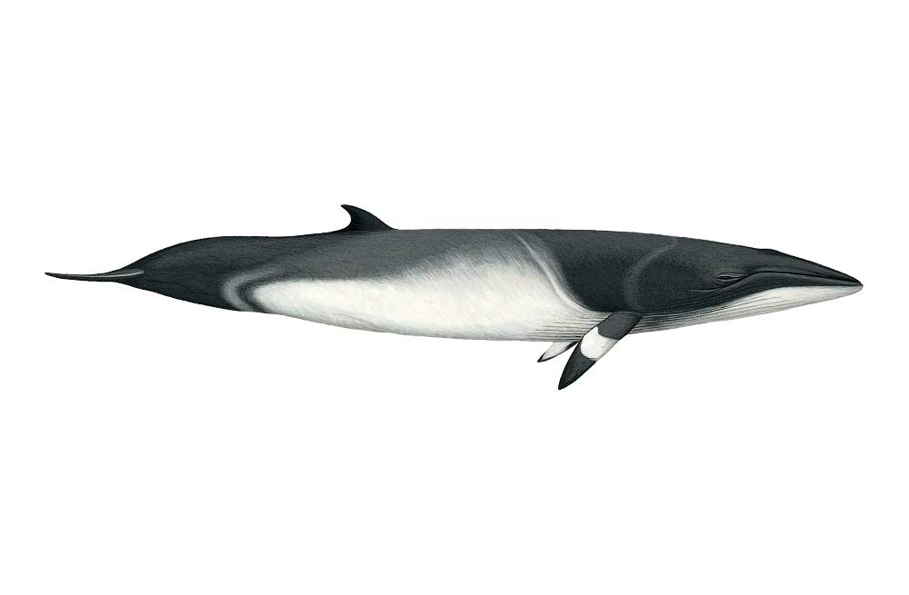 MinkeWhale-Illustration.jpg