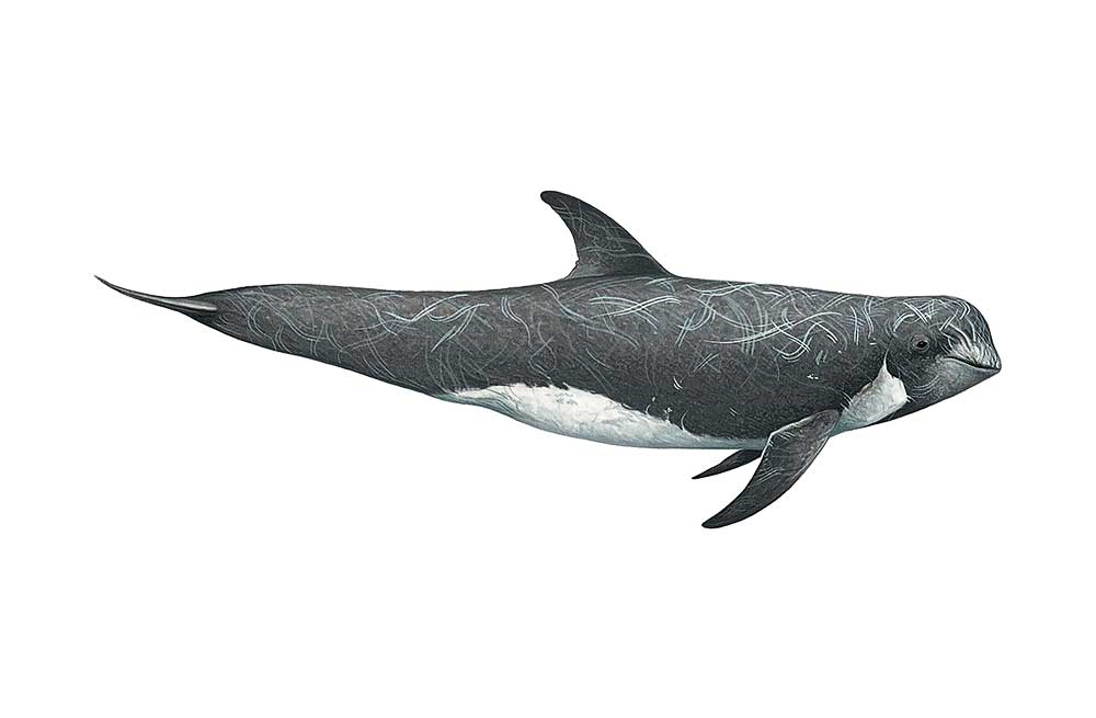 RissoDolphin-Illustration.jpg