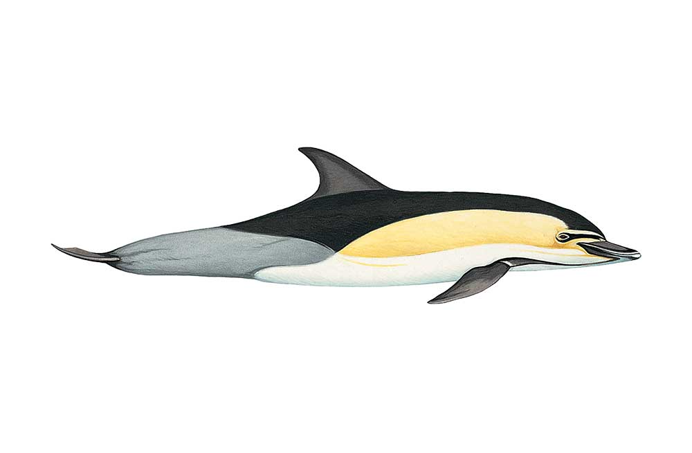 CommonDolphin-Illustration.jpg