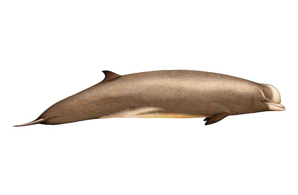 NBottlenoseWhale-Illustration.jpg