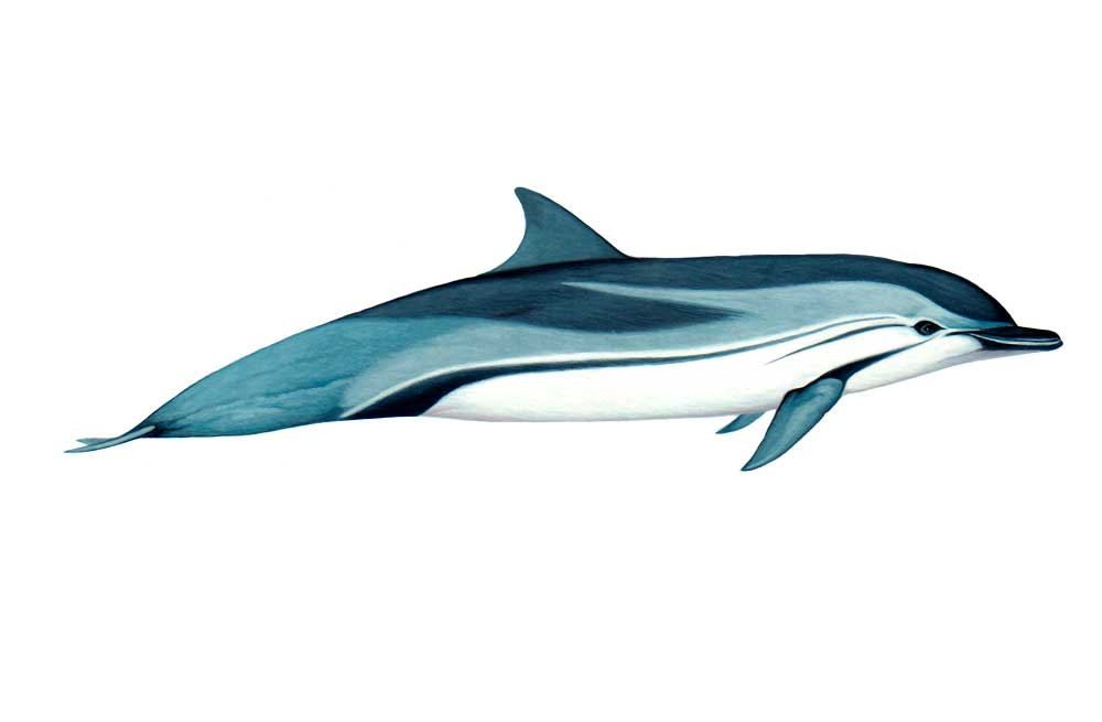 Striped-Dolphin-Illustration.jpg