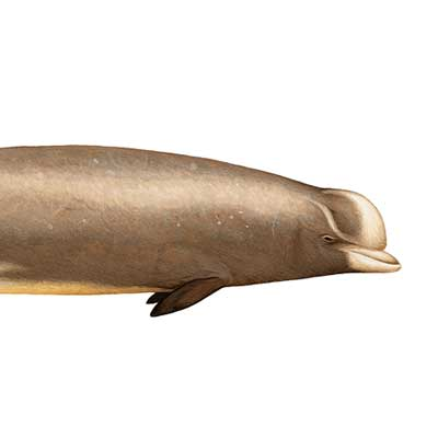 NORTHERN BOTTLENOSE WHALE Hyperoodon ampullatus