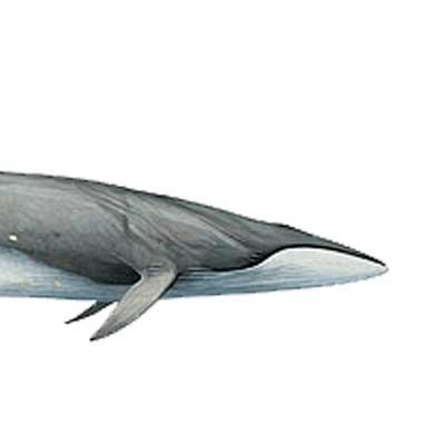 SEI WHALE Balaenoptera borealis