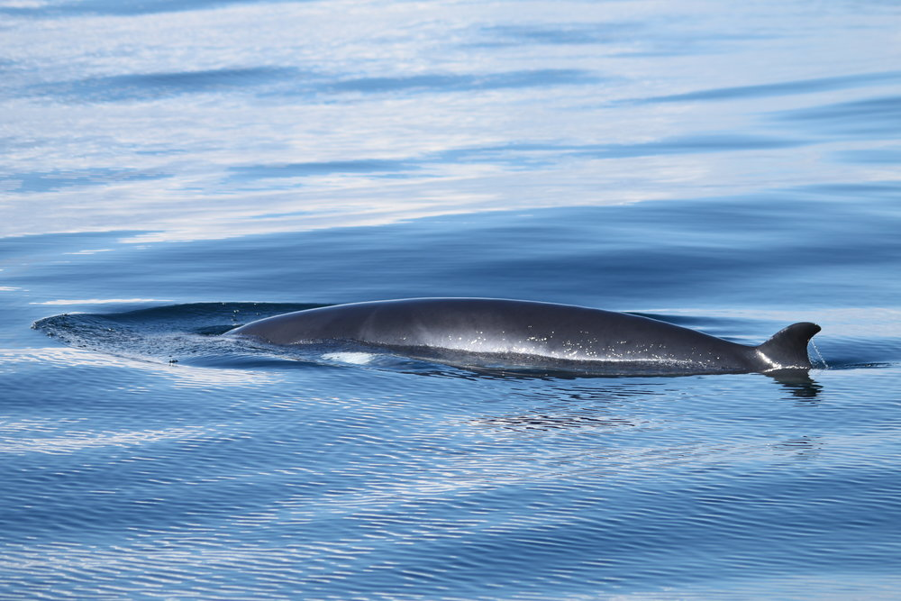 Minke whale associating with Silurian in the Sea of Hebrides.