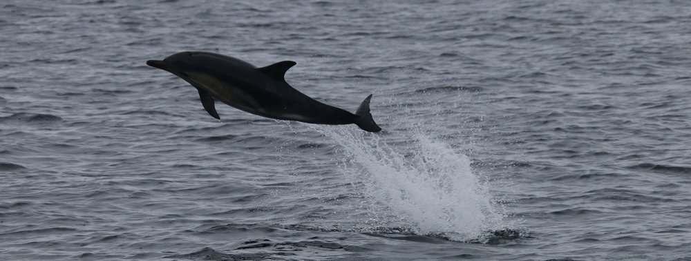 Common dolphins are a very vocal species and can be heard through the hydrophone