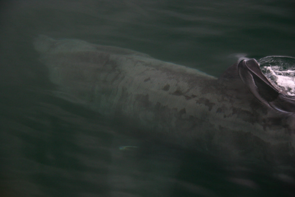 Basking sharks appear seasonally in Hebridean waters, with some known hotspots where sharks congregate in large groups