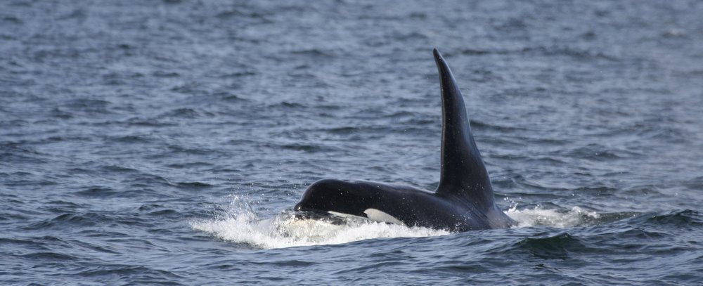 Comet the killer whale, one of the endangered West Coast Community