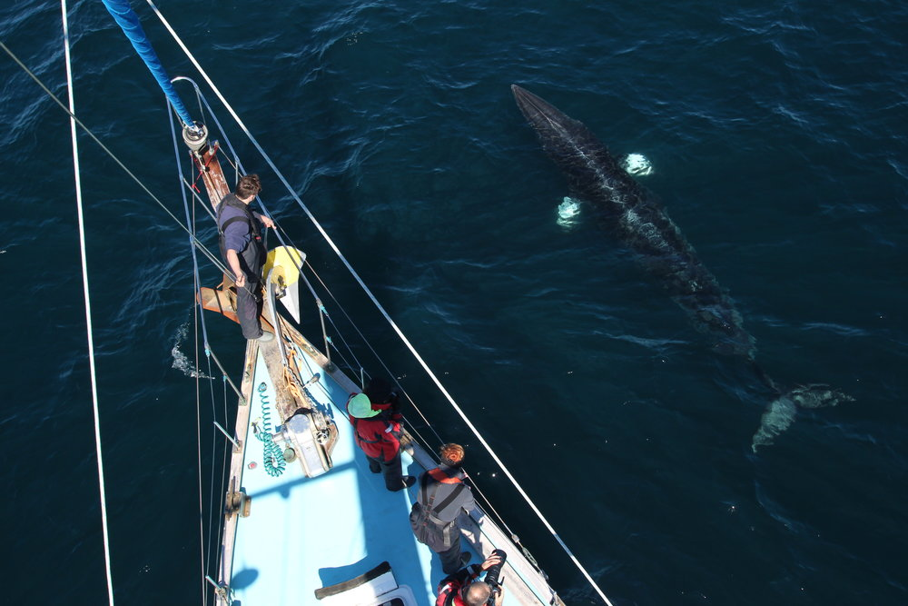 A minke whale inspecting our crew