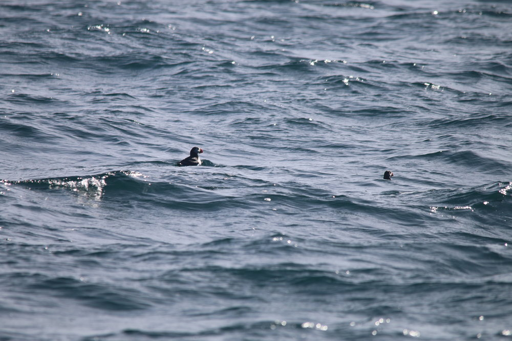 The first puffins of the season bobbing alongside Silurian