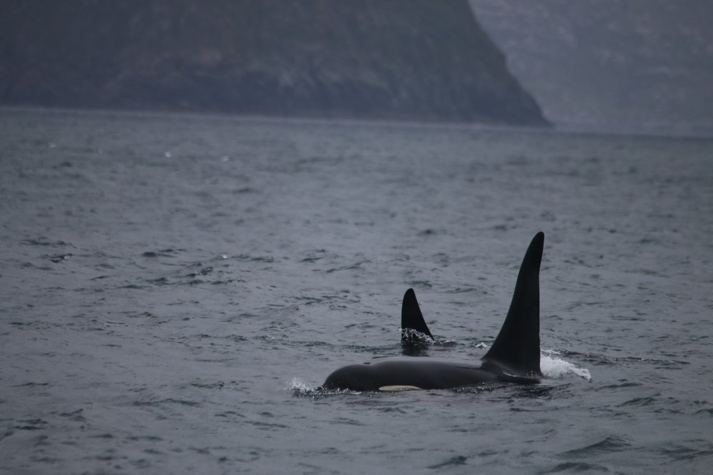 The two male killer whales that came over for a closer look