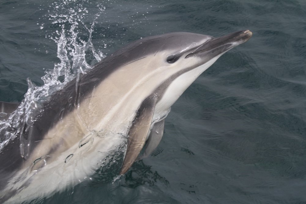 One of the many bow riding common dolphins