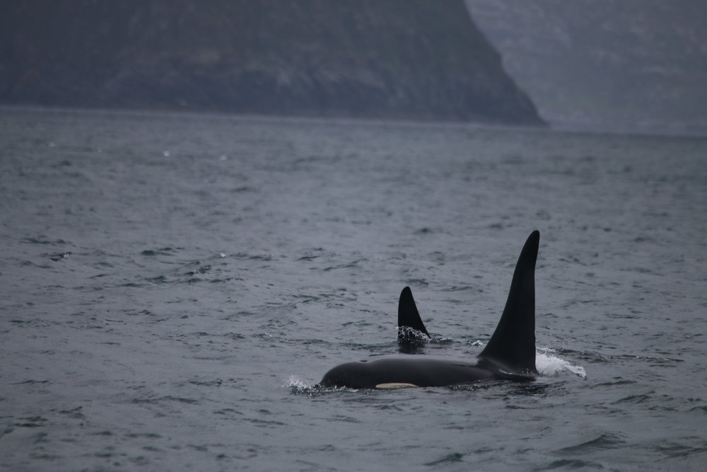 A pod of killer whales spotted on HWDT survey 5 this June, first spotted by Rod himself!