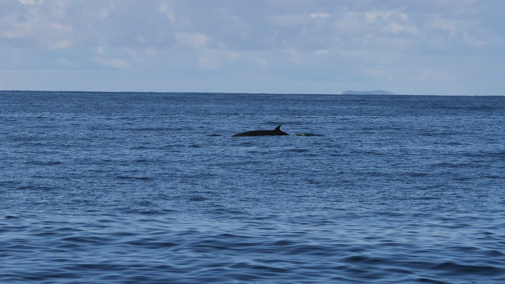 A fleeting glimpse of the minke whale, just long enough to get a photo.