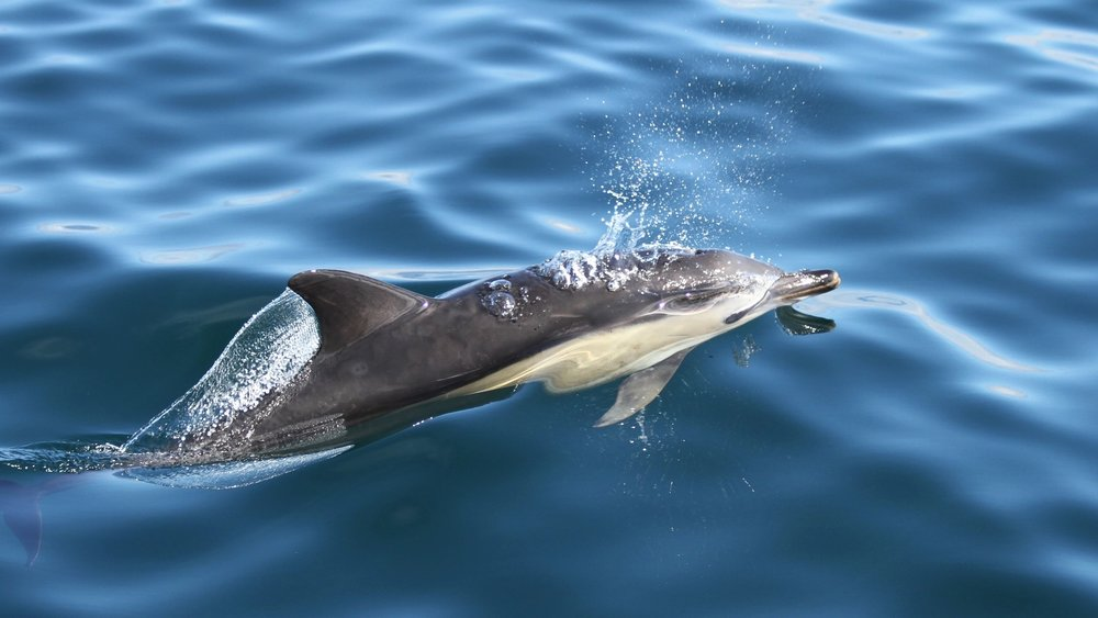 One of the many common dolphins, that approached Silurian for a closer look.