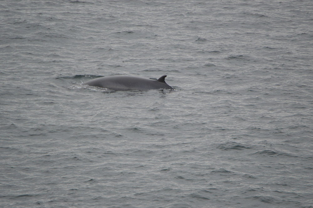 If you look closely you can see Kasey's distinctive fin. Taken by Craig Mackie, Hebridean Whale and Dolphin Trust.