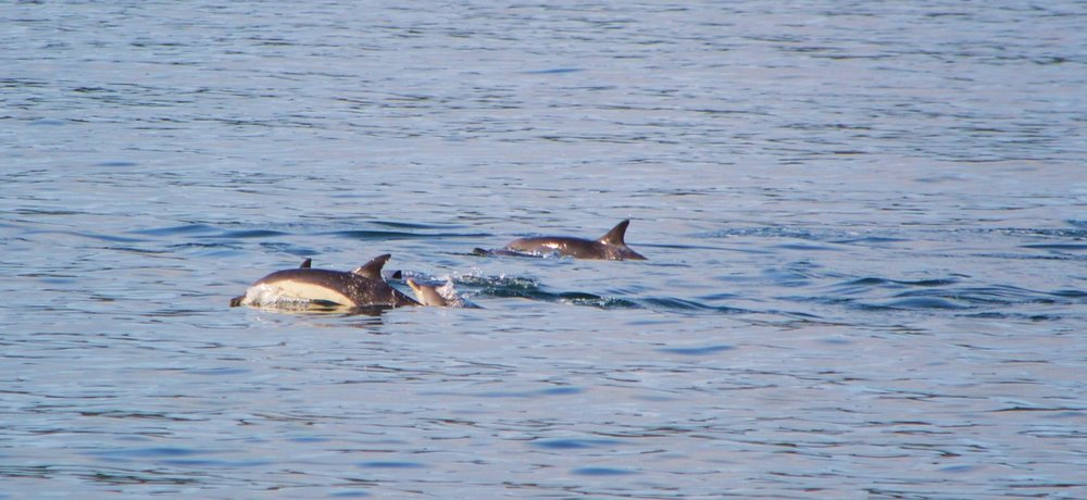 Common dolphins from the Calmac ferry between Tobermory and Kilchoan. Can you spot the youngster in the pod?
