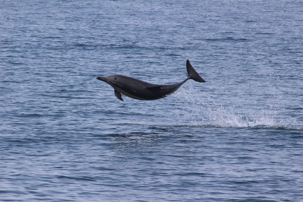 One of the hundreds of common dolphins we saw on the survey