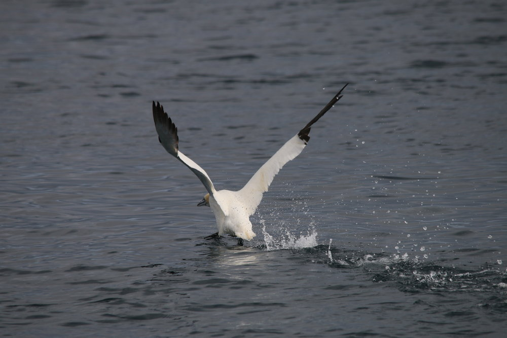 We saw hundreds of gannets, some diving amongst the common dolphins