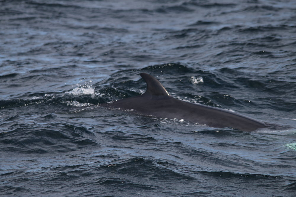 One of the minke whales encountered on the survey