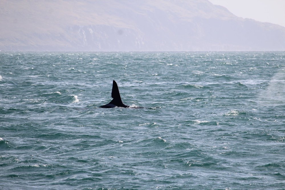 The unmistakeable fin of John Coe submitted on Whale Track by Aaron Mclean