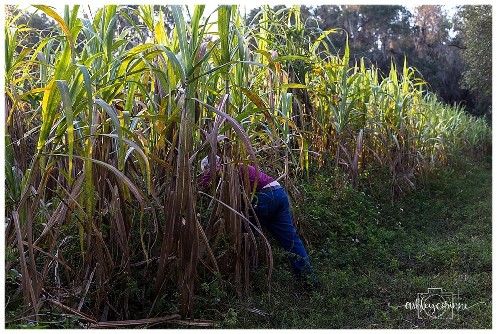 Lost In the Field  - A Florida Cane Grinding - Ashley Corinne Photography