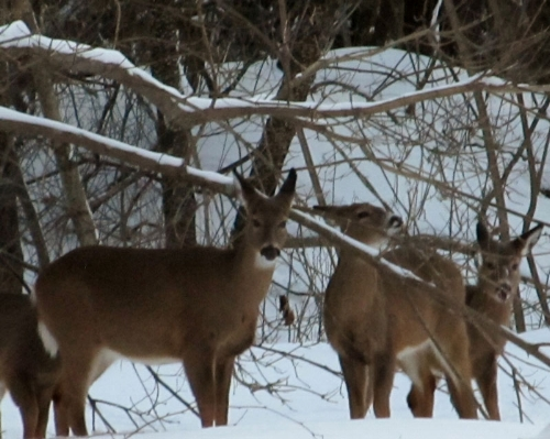 Deer in Dows Woods