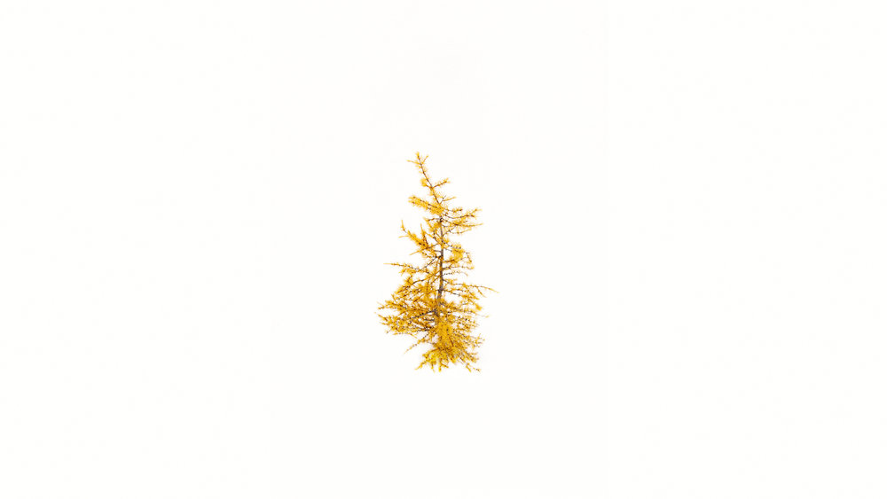 Larch in snow