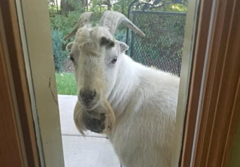 The White Goat of inver grove heights - News From the Weird 2