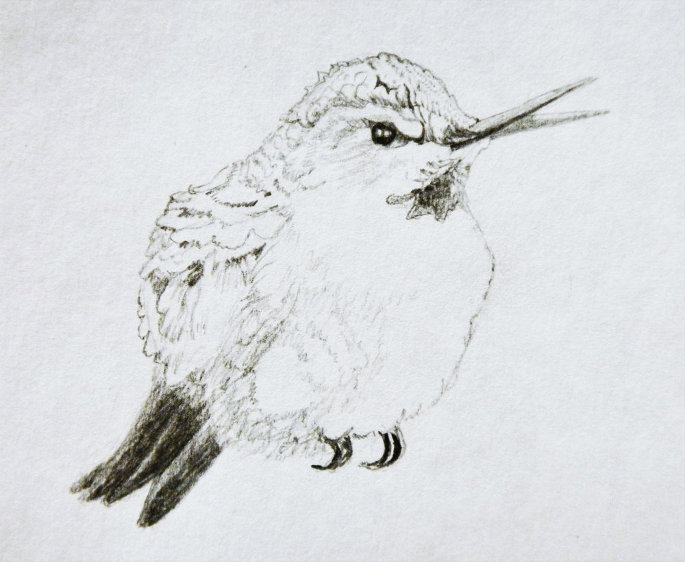 Hummingbird sketch 1  Pencil on paper. 3 x 4 in.
