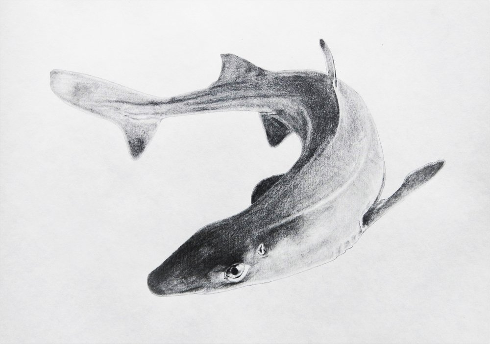 Dogfish  Pencil on paper. 14 x 11 in.