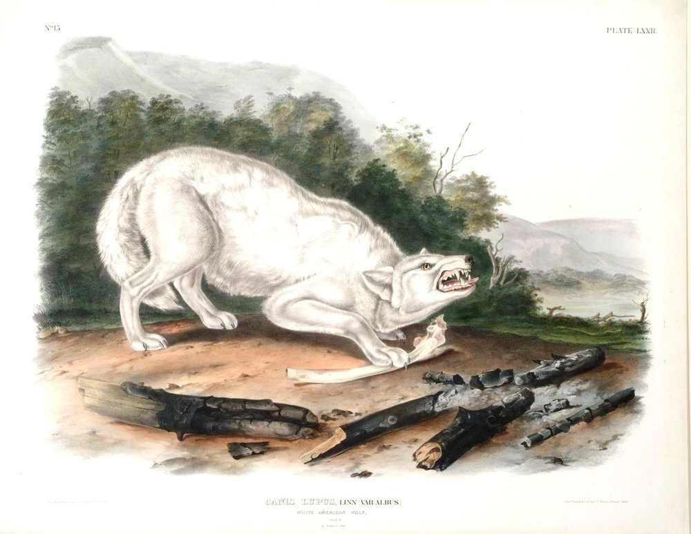"Color Lithograph on paper of ""White American Wolf"", James Audubon, 1845, University of Michigan Museum of Art"