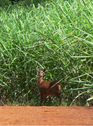 biodiversitydeer-in-the-sugar-canecropped-w800.png