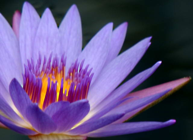 Glowing Water Lily