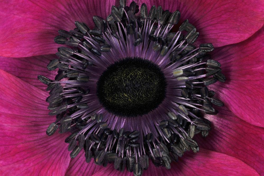 Magenta Anemone Eye