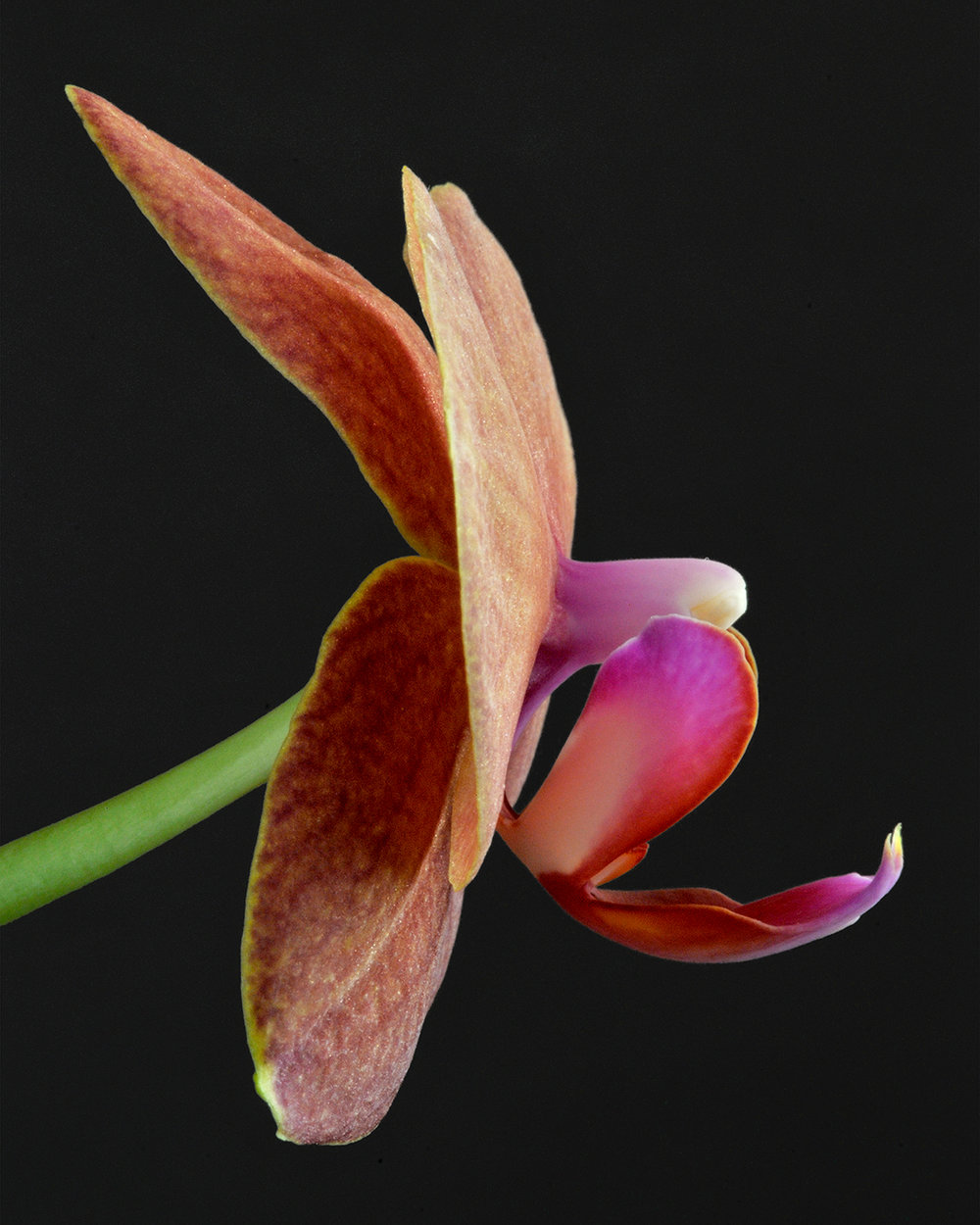 Orchid Embryo