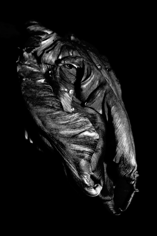 Noir Tulip